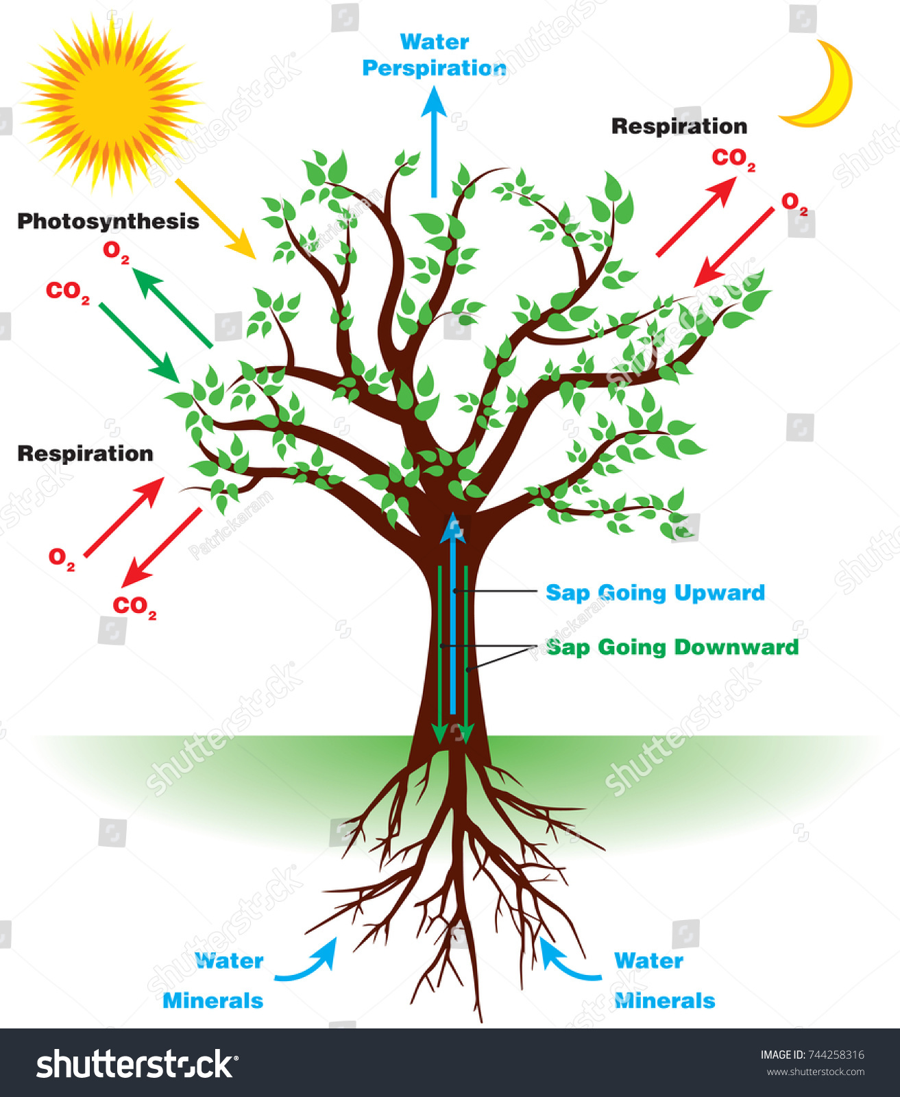 Tree Photosynthesis Diagram English Stock Vector