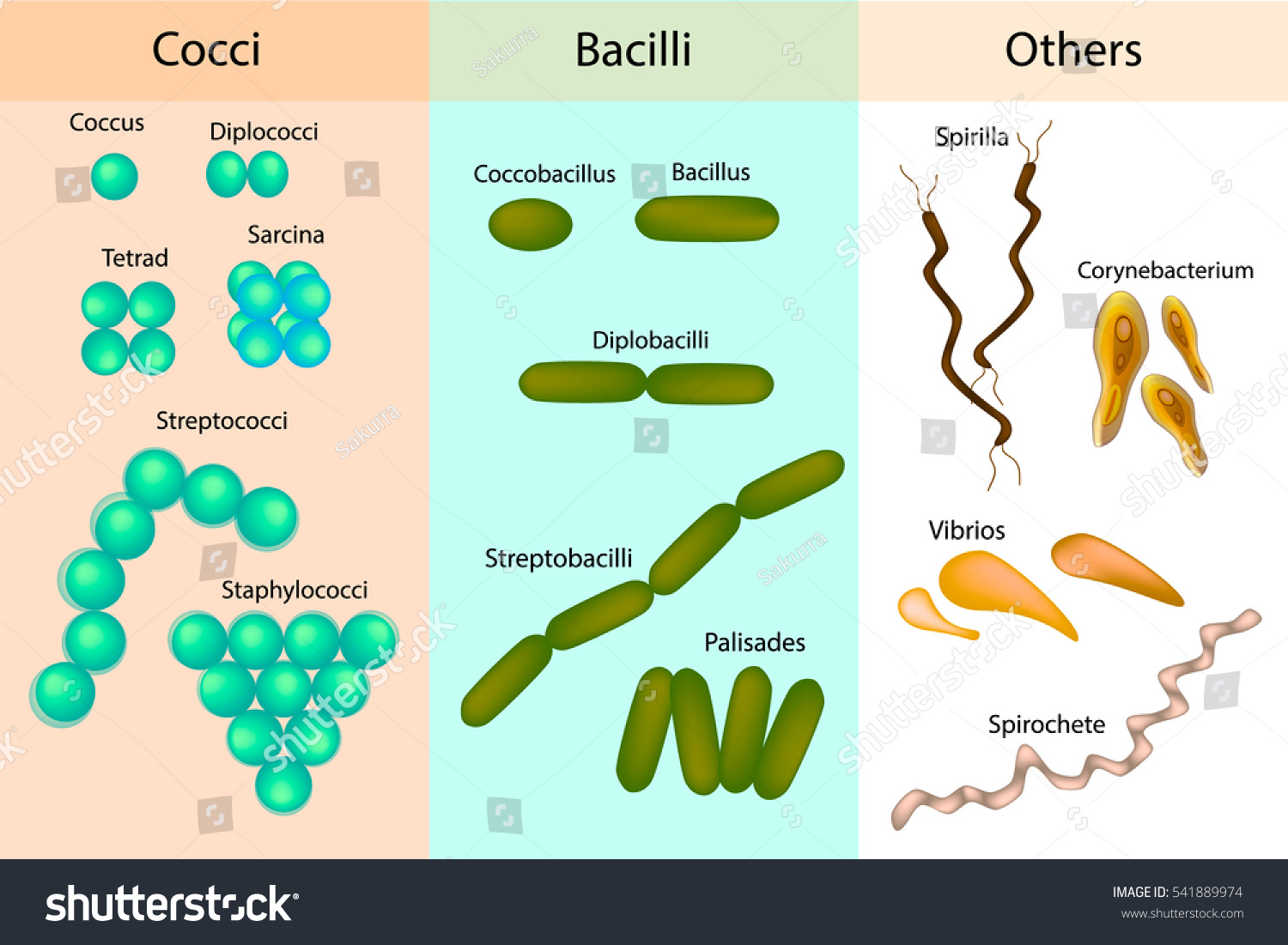 Types Bacterial Bacteriadifferent Forms Bacteria