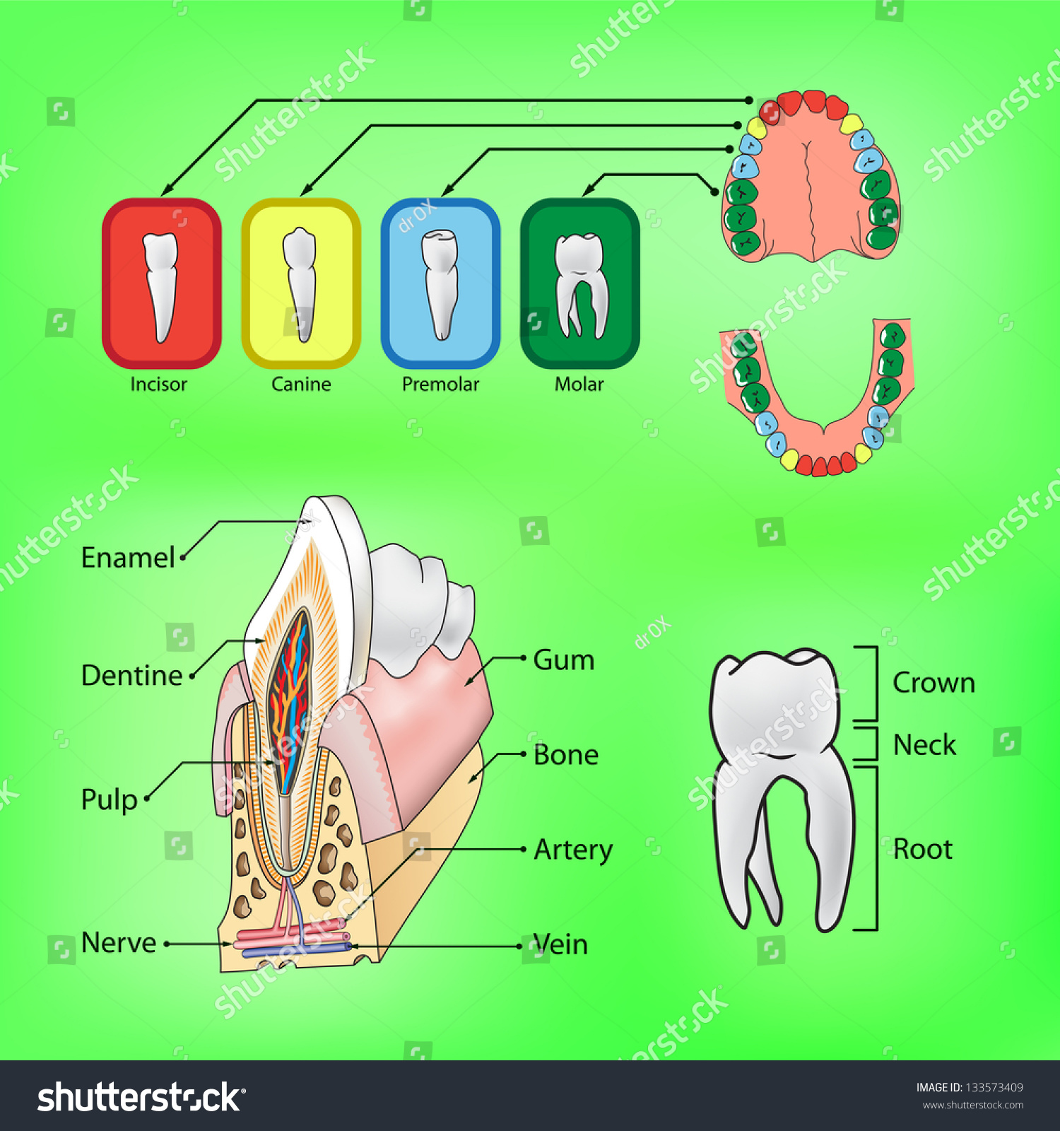 Types Teeth External Internal Structure Tooth Stock Vector