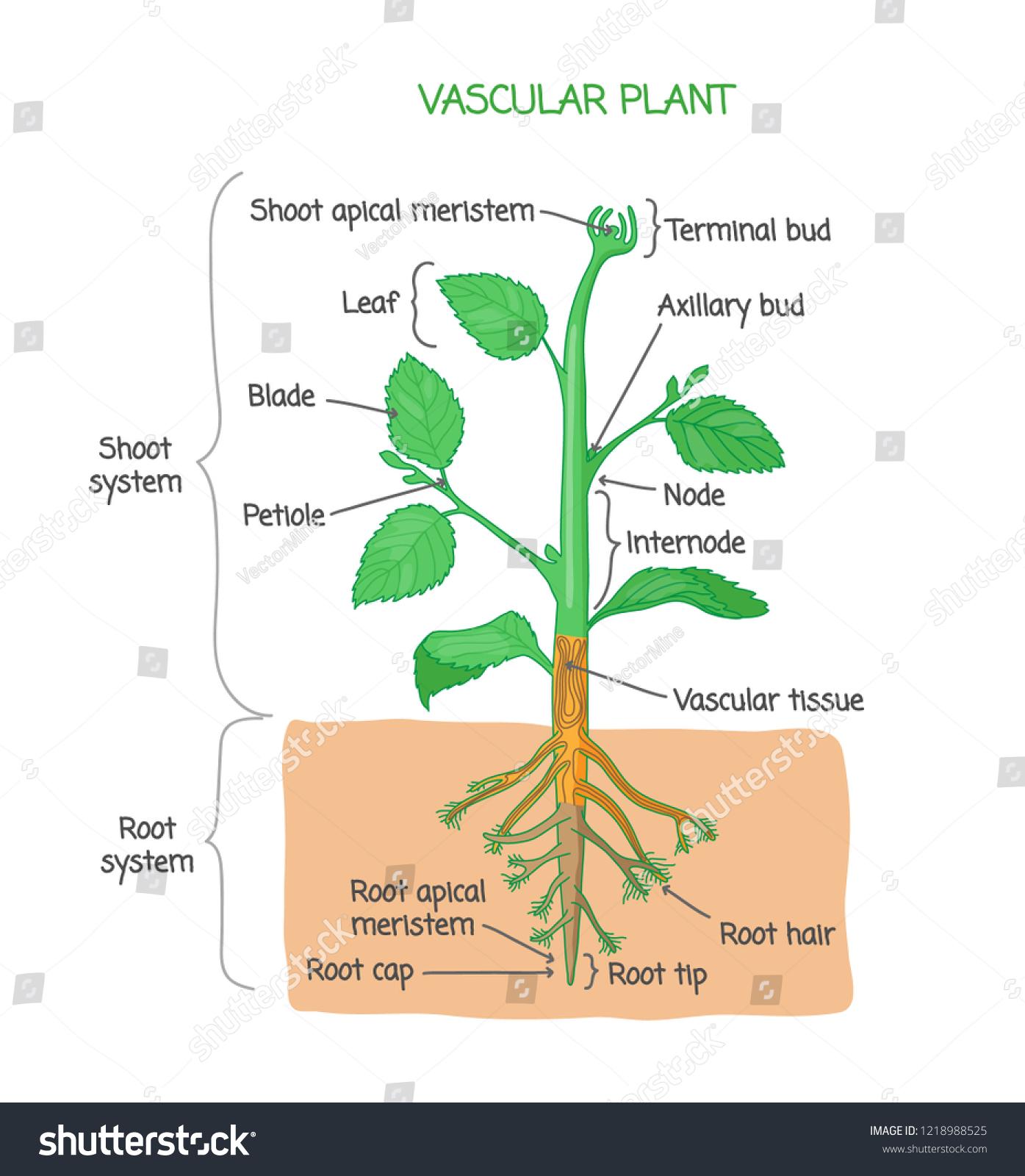 Plant Parts Diagram Label