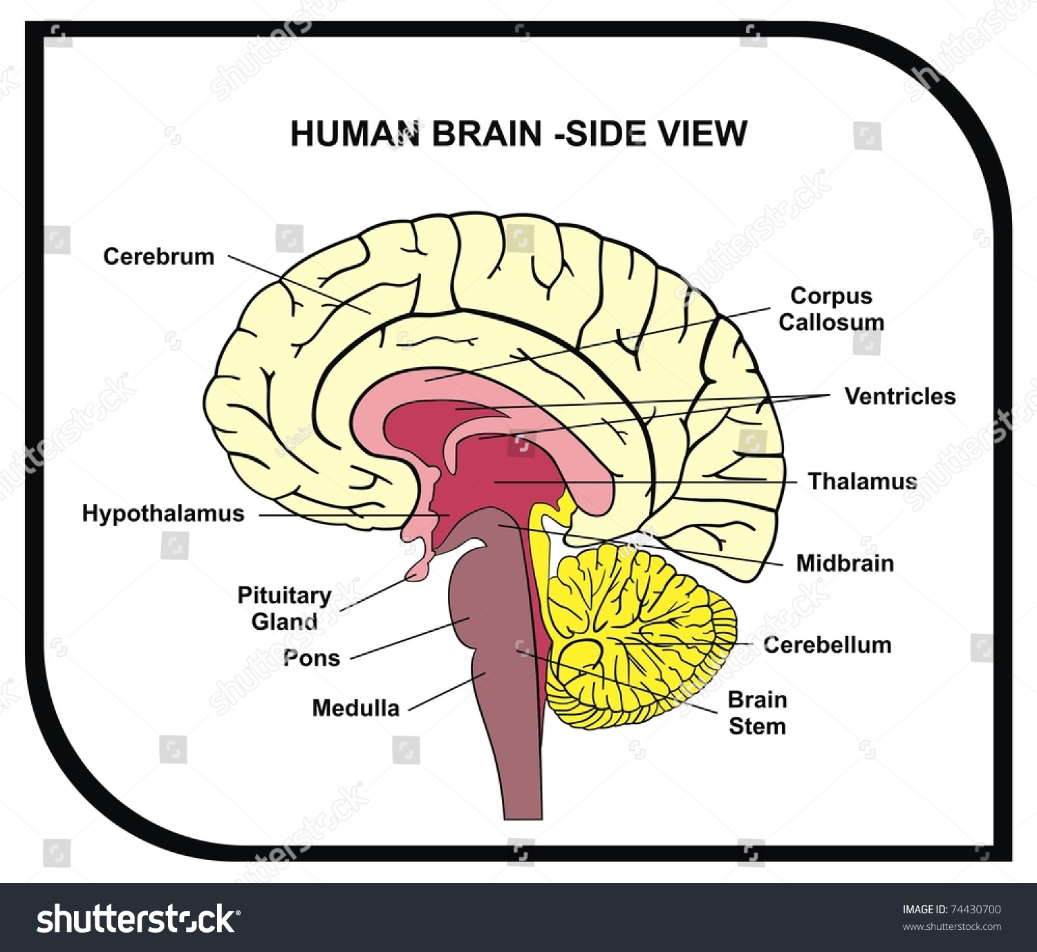 Side Sheep Brain Diagram Sheep Brain Parts And Functions Wire Diagrams