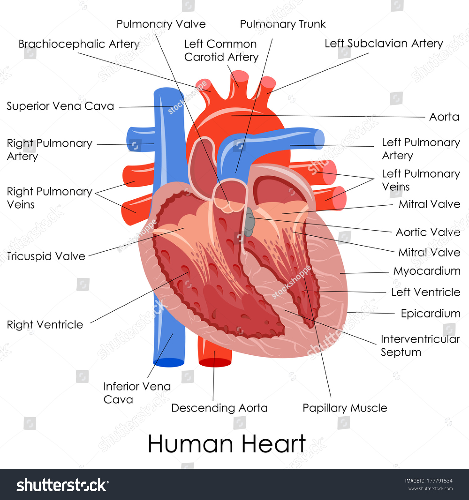 Vector Illustration Of Diagram Of Human Heart Anatomy