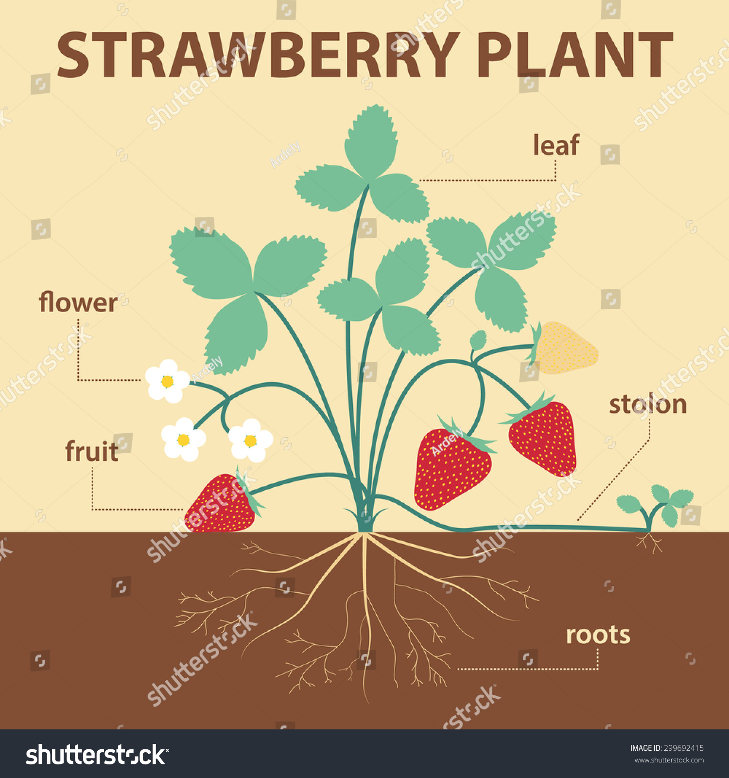 Vector Illustration Showing Parts Of Strawberry Whole