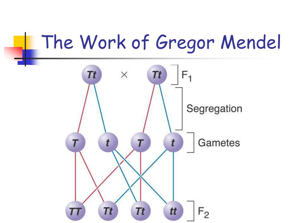 Section 11 The Work Of Gregor Mendel 11 1 The Work Of