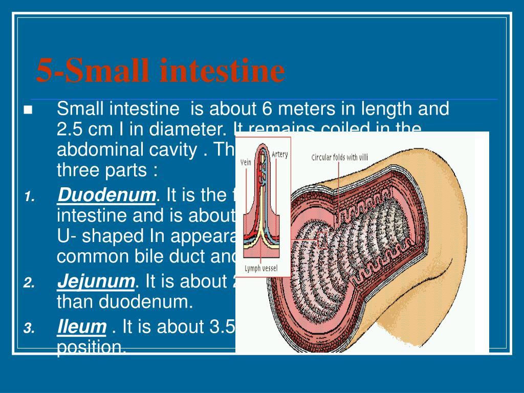 Large Intestine Length In Meters