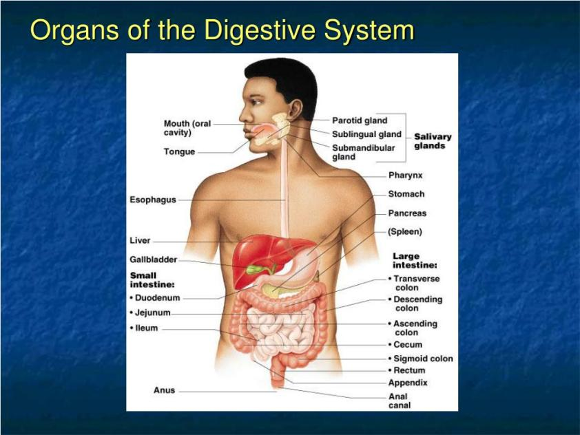 PPT - Chapter 14 The Digestive System and Body Metabolism ...
