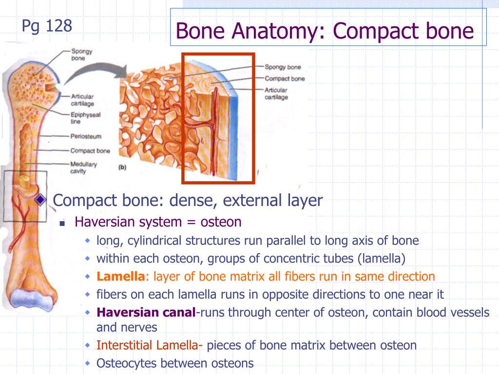 Interstitial Lamellae In Compact Bone