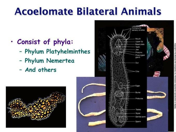 Ppt Acoelomate Bilateral Animals Powerpoint Presentation Free Download Id 216294