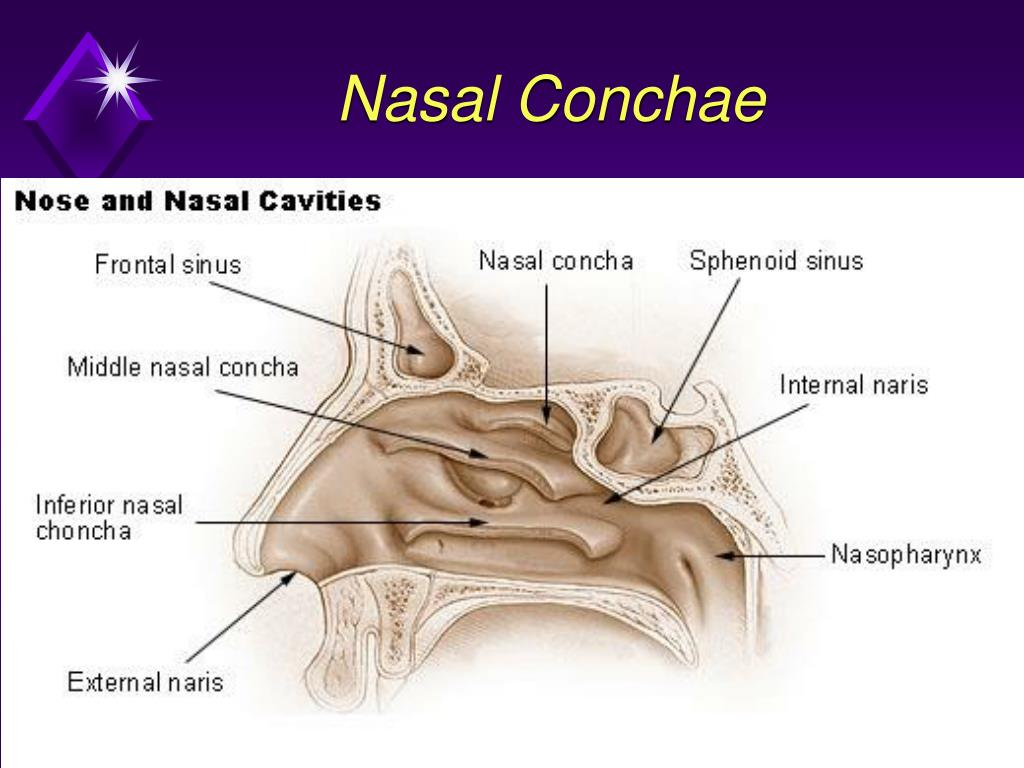 Enchanting Nasal Conchae Component - Physiology Of Human Body Images ...