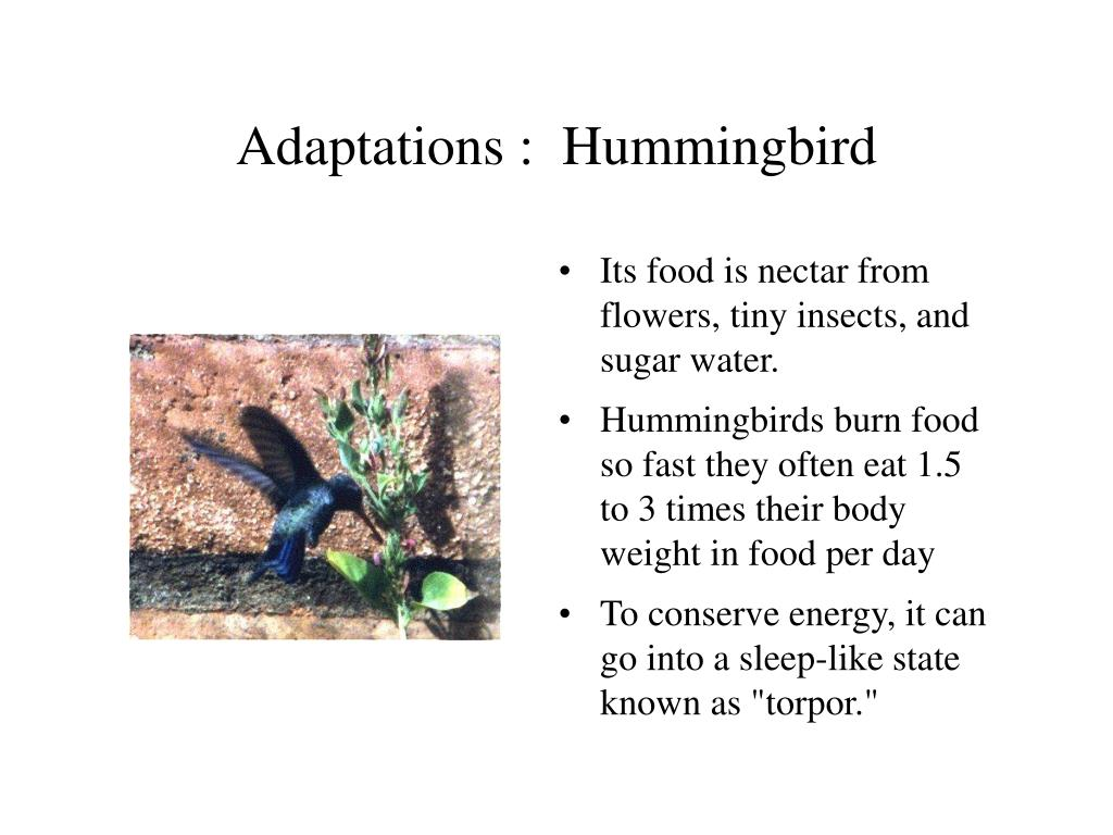 Hummingbird Adaptation