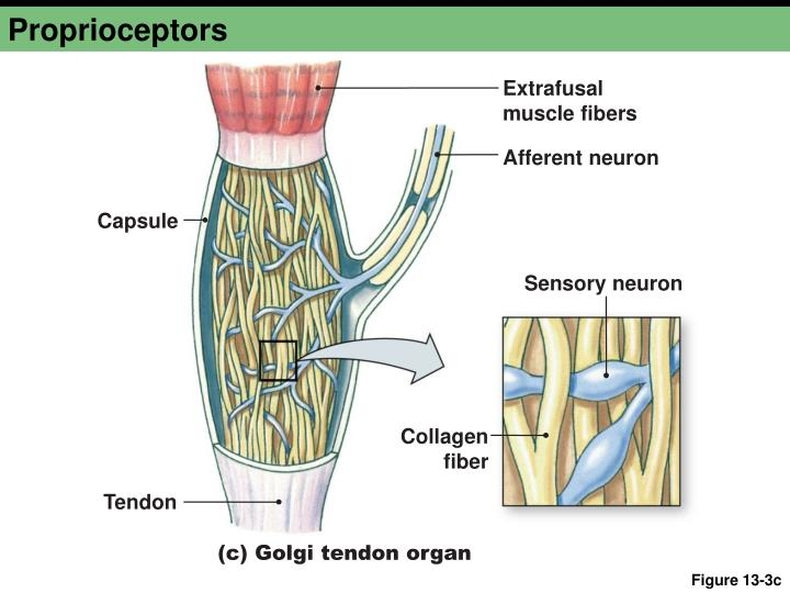 Organ Golgi Tendon Reflex