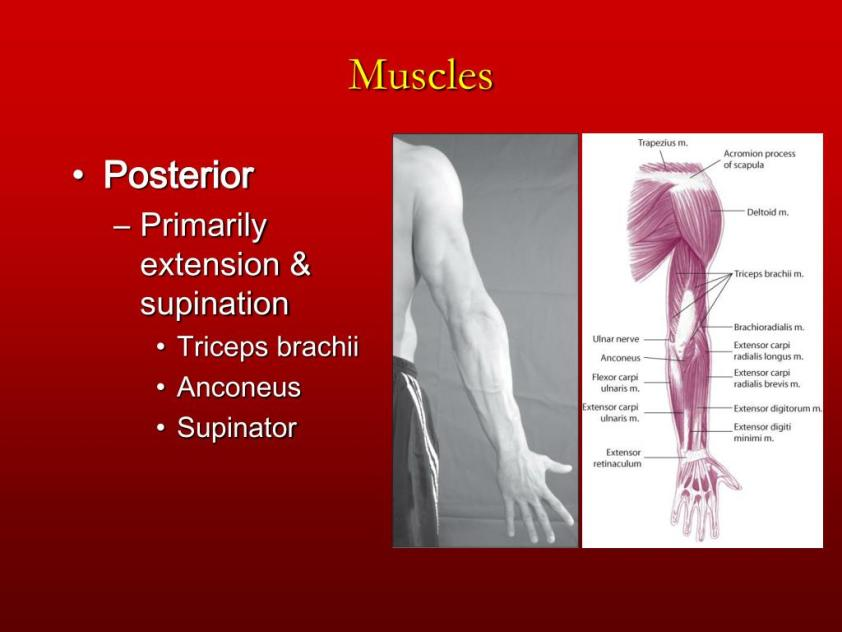 PPT - Chapter 6 The Elbow and Radioulnar Joints PowerPoint ...