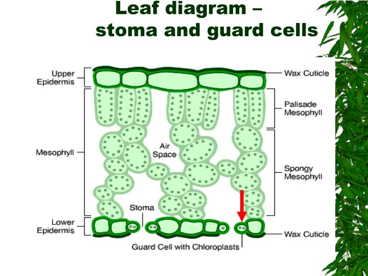 Plant Stomata Diagram Trusted Wiring Diagrams