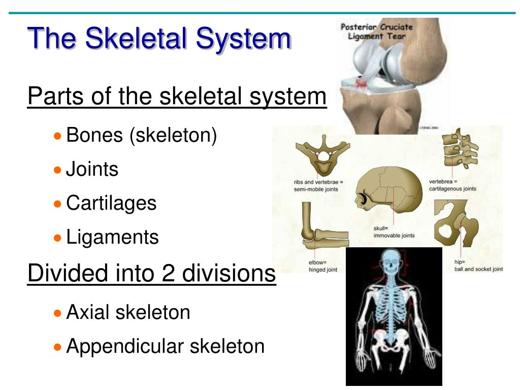 Anatomy And Physiology Coloring Workbook Chapter 5 Appendicular Skeleton