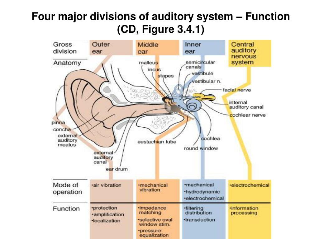 Inner Ear Auditory Ossicle