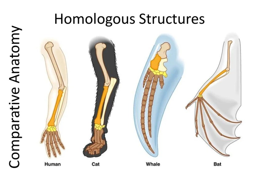 02 evidence of evolution comparative anatomy