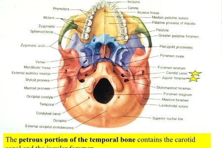 Interior Inferior Bones Of Skull Labeled Electronic Wallpaper