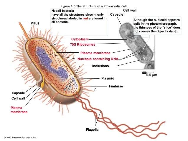 Cocci Bacteria Cell Diagram