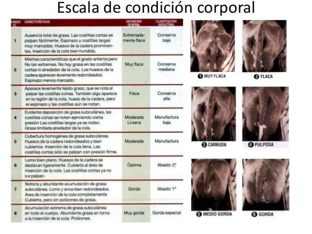 La Condici 243 N Corporal En El Manejo De Bovinos