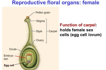 Female reproductive part of flower is known as beautiful flowers of biology th edition by sinauer associates www sinauer com and wh sexual reproduction in flowering plants s cool the revision website flower structure ccuart Image collections