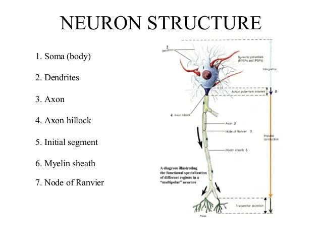 Multipolar Motor Neuron Diagram