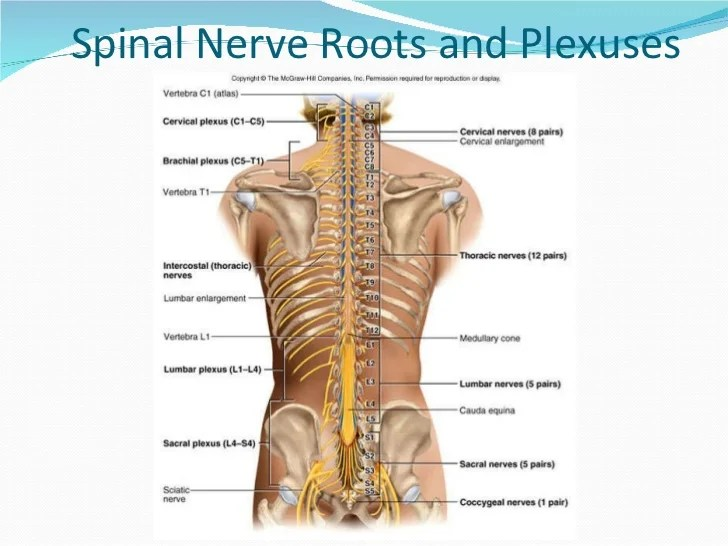 Thoracic Spinal Nerves Chart