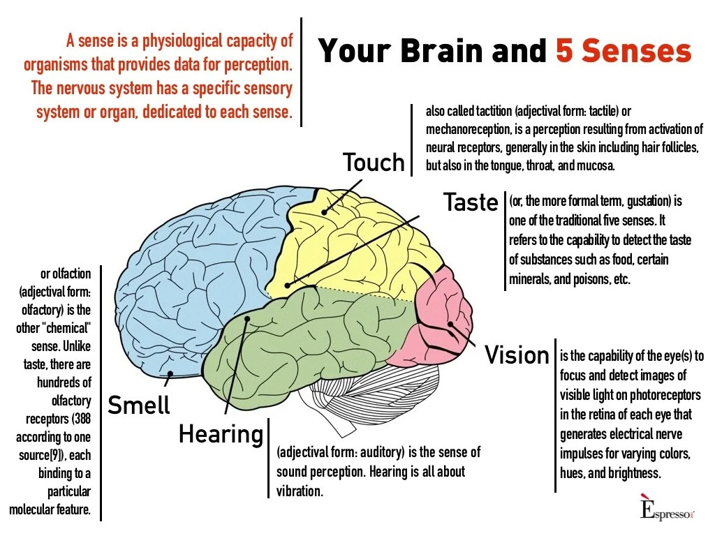 Your Brain And 5 Senses