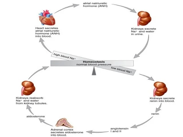 Alpha Islets Cells Cells Slide And Cells Beta Pancreas Langerhans Acinar