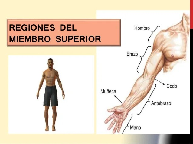Miembro Superior | Anatomía de superficie