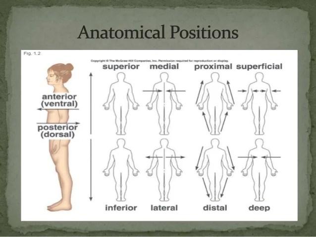 Anatomical planes & cavities