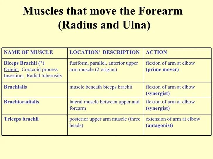 Hip Flexion Agonist Muscle - The Hip Flexor