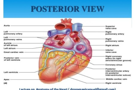 interior lateral anterior views of heart » Full HD MAPS Locations ...