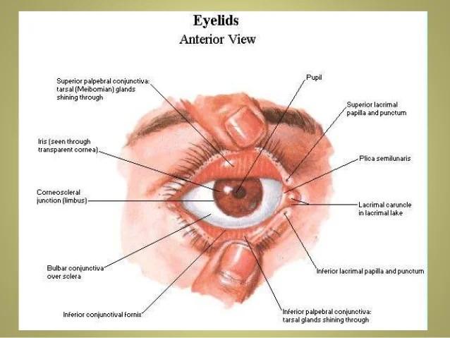 Eye Lower Eyelid Anatomy