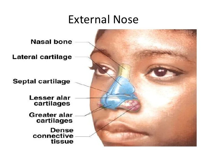 Anatomy of nose and paranasal sinus