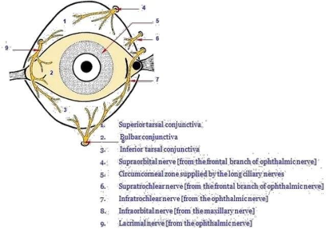 Anatomy of the conjunctiva