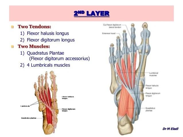Tibialis Anterior Anatomy