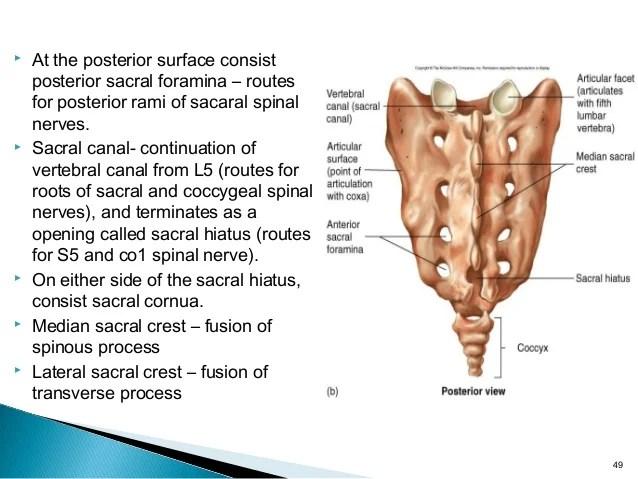 Sacral Definition Anatomy - Explore Organs & Anatomy Diagram