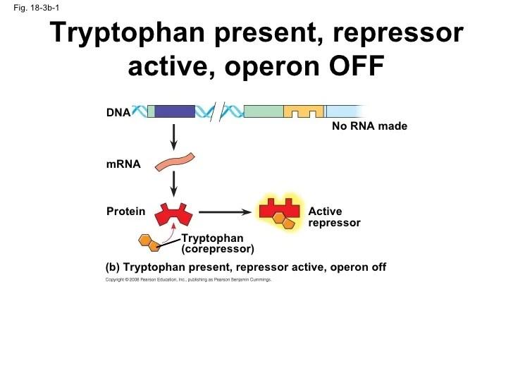 Active Operon Repressor Activator Active