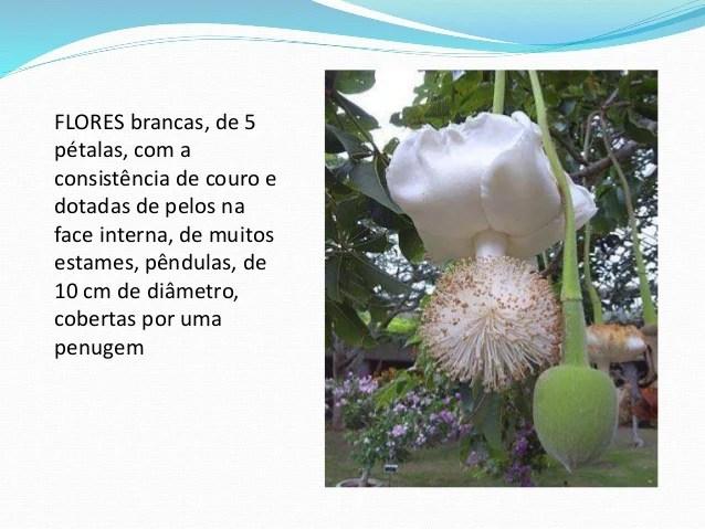 Aula sobre o baobá - Edna dos Santos. SlideShare