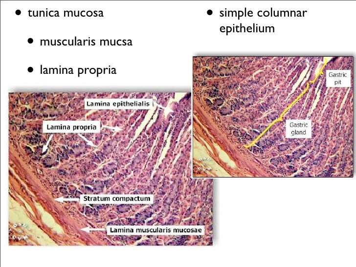 Pancreas Langerhans And Cells Islets Acinar Slide