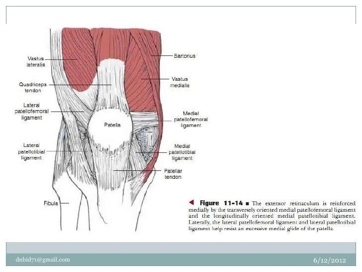 Transverse Retinaculum Of Knee