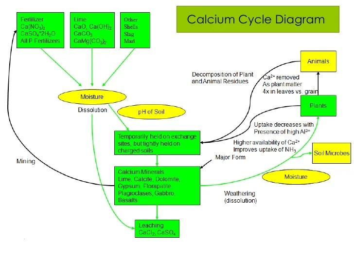 Calcium cycle