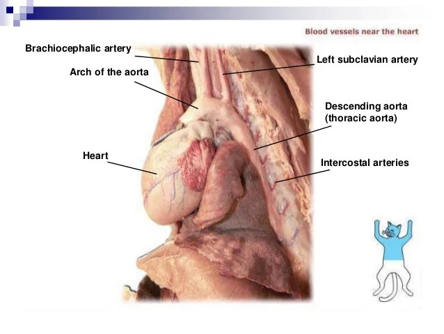 Sinus Fetal Pig Dissection Labeled