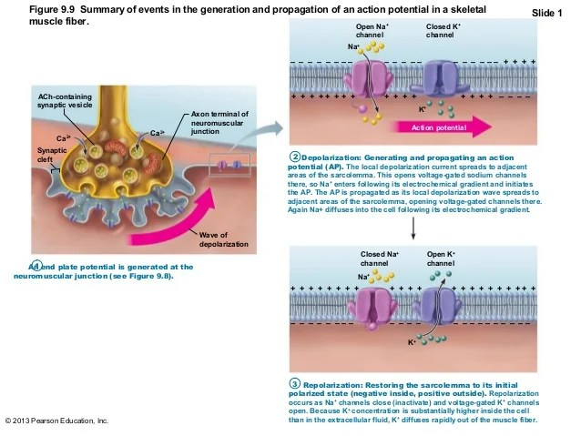 Image result for generation and propagation of action potential in skeletal muscle