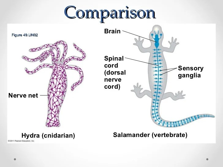 Nerve Net vs Bilateral Brain