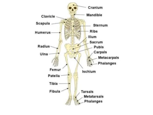 Anatomy And Physiology Coloring Workbook Answers Chapter 5 The – Chapter 5 Skeletal System Worksheet Answers