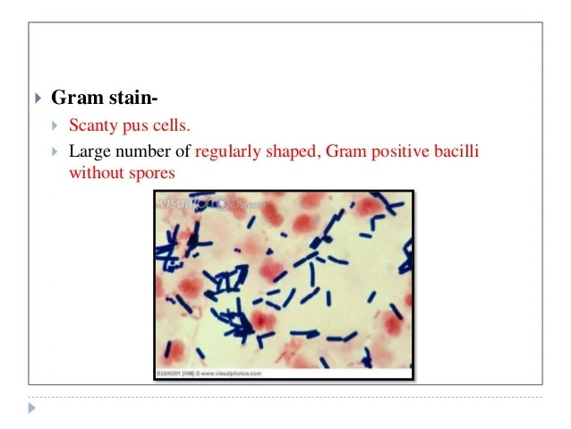 Clostridium Colonies Shape