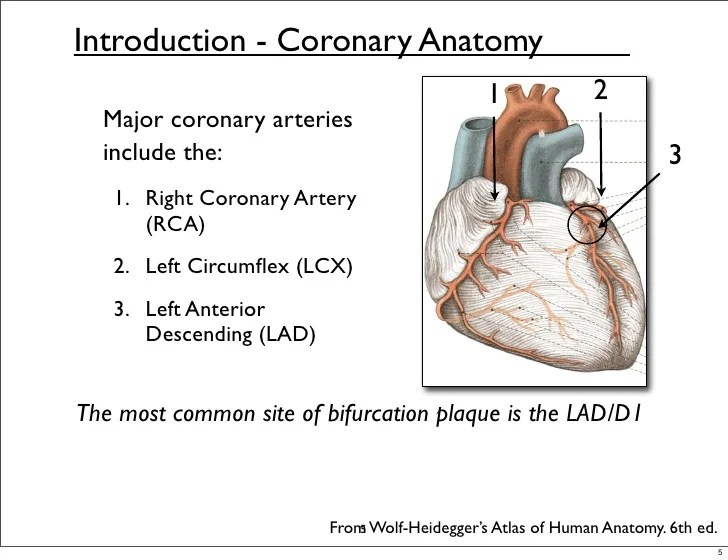 The Right Coronary Artery Branches To Form