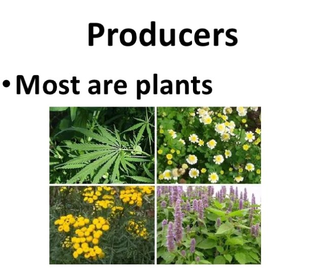 Producersmost Are Plants