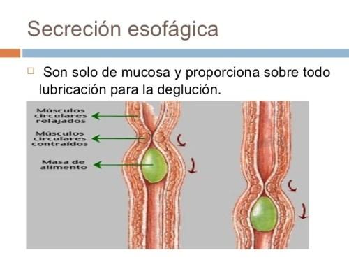 Sistema Digestivo Función | ⊛ 【 Educándose En Línea 】